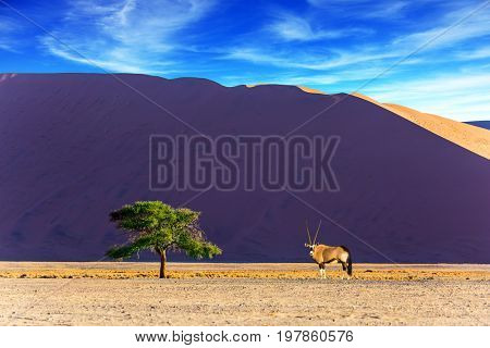 The concept of extreme and exotic tourism. African Oryx gaselle standing at the dune. Sunset in the Namib Desert. Namibia, South Africa