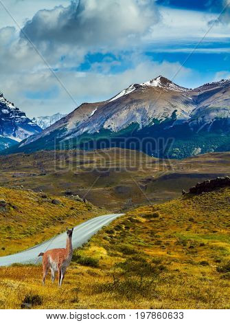 Guanaco is on the roadside. The gravel road goes into the distance. Mountains and rocks in Torres del Paine National Park, Chile. The concept of active and extreme tourism