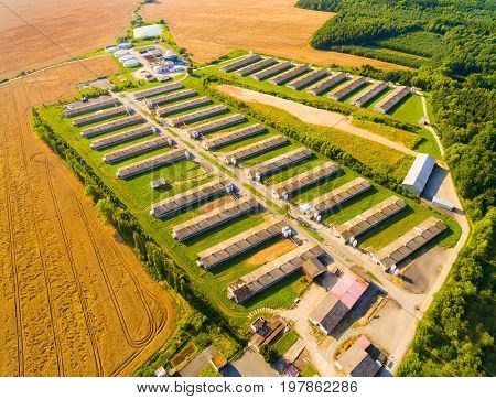 Aerial view to pig farm in wheat fields. Agriculture from above.