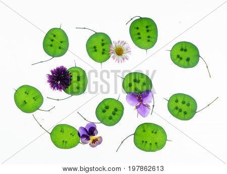 lunaria plant