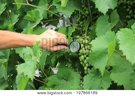 Gardener inspects grape bunch with magnifying glass in search of pests and diseases. Close up.