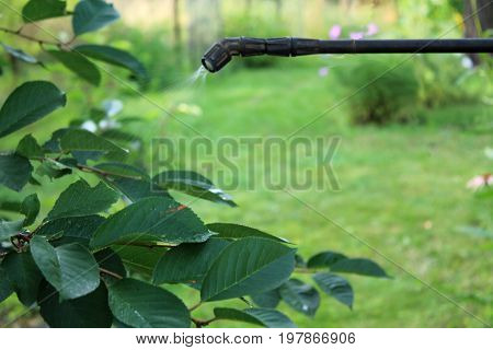 Spraying cherry tree with boom garden hand sprayer against pests and diseases. Closeup.