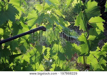 Spraying grape with garden hand sprayer against pests and diseases. Backlight.