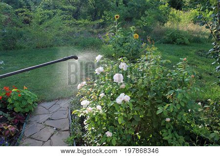 Spraying white rose shrub against pests and diseases with garden hand sprayer. Nearby is garden path from flagstone.