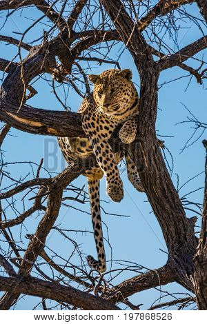 Satisfied and contented leopard resting on a tree. African spotted leopard after feeding. The concept of exotic and extreme tourism. Travel to Namibia