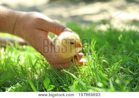 Human hand holding cute little chick on blurred background