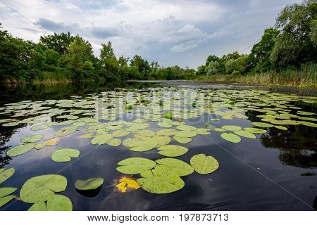 water lily leafs on river surface