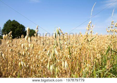 Field of oat on a summer day