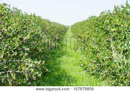 Aronia (chokeberries) shrubs growing in a field