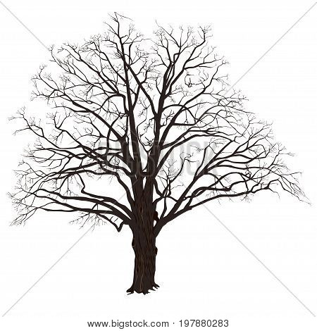 Winter oak (Quercus) with fallen leaves the color vector image on a white background