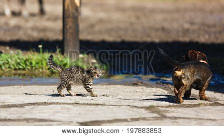 Confrontation of a kitten and a dog in the countryside