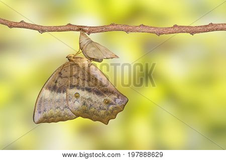 Emerging Of Common Duffer Butterfly ( Discophota Sondaica Boisduval ) From Chrysalis Hanging On Twig