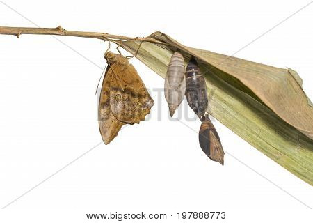 Isolated Emerging Of Common Duffer Butterfly ( Discophota Sondaica Boisduval ) From Chrysalis And Ma
