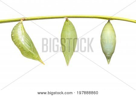 Isolated Chrysalis Of Common Duffer Butterfly ( Discophota Sondaica Boisduval ) Hanging On Twig