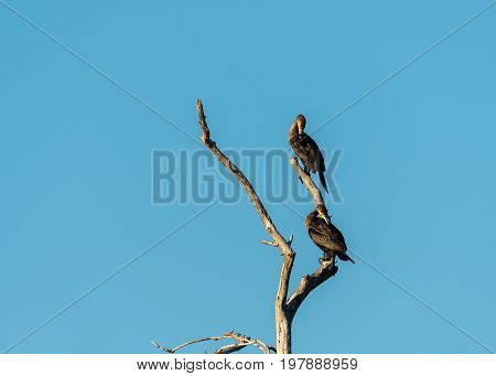 Two juvenile cormorants on a tree preening