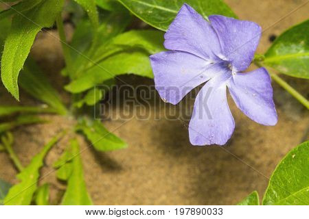 Purple flower Vinca on a background of sand