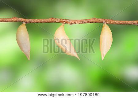 Chrysalis Of Common Duffer Butterfly ( Discophota Sondaica Boisduval ) Hanging On Twig