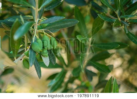Green tree with small green olives and leaves