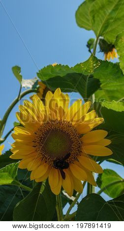 Big yellow sunflower with a bee on a blue sky background
