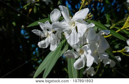 White oleander flowers on dark green background with leaves