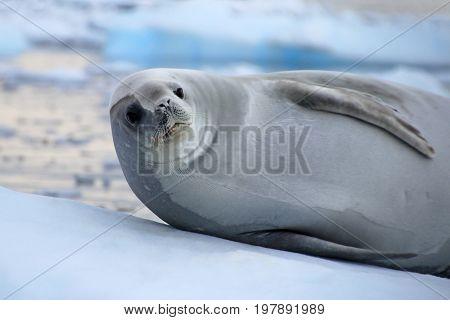 Crabeater seal on ice floe, Antarctic Peninsula, Antarctica poster