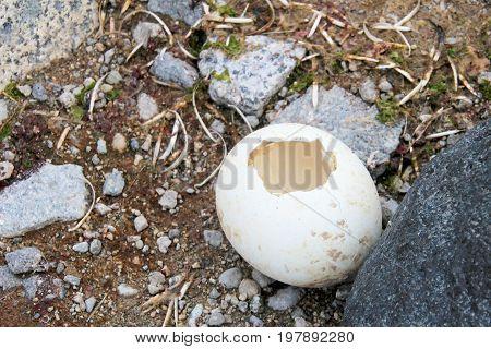 Gentoo penguin egg in Antarctic Peninsula, Antarctica