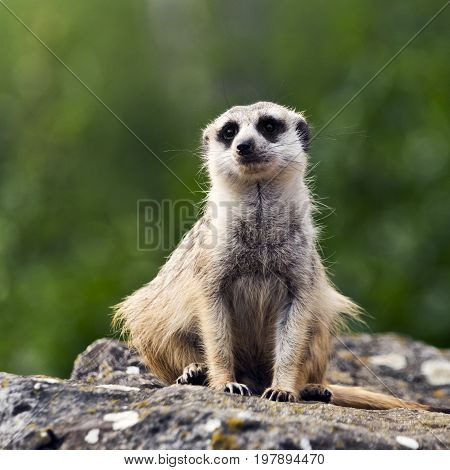 A meerkat (suricate) is on guard looks around and patrolling