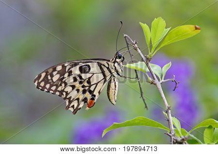 Lime Butterfly Papilio Demoleus Colorful Close Up