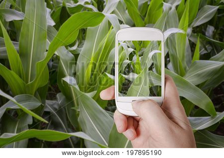 Agronomist taking photography of green corn field and examining crops. Agribusiness concept.