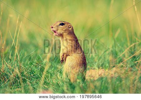 Alerted Squirrel . Ground Squirrel Alert And Watching Around. Cute Mammal