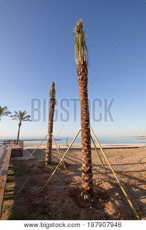 Two Freshly Planted Palm Trees In Beach Of Benicassim