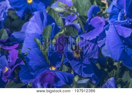 Natural view of colorful blue violet flowering in the garden under natural sunlight at sunny summer or spring day. Close up blue violet flowers background in morning nature