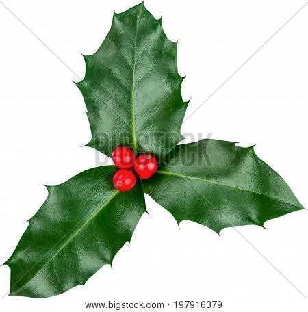 Leaves cute holly berries white background isolated on white christmas decoration