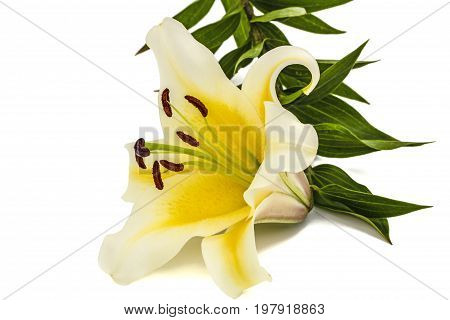 Flower of yellow oriental lily isolated on white background