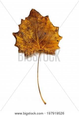 Autumn Dried Quaking Aspen Leaf