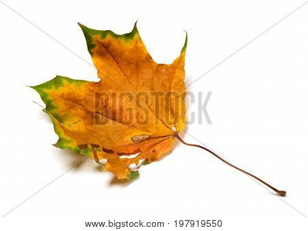 Autumn Dried Maple Leaf With Holes