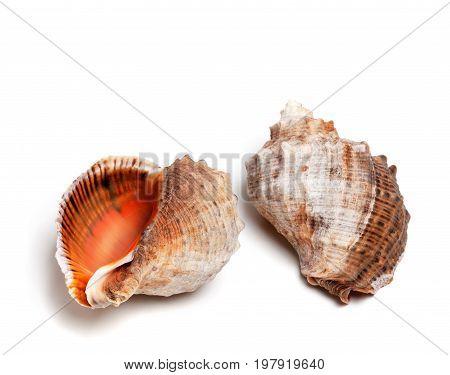 Two Shells From Rapana Venosa