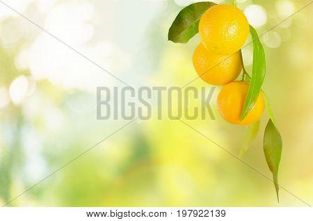 Ripe branch oranges healthy food low calorie natural food organic food