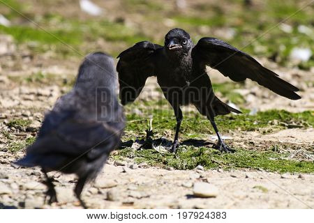 A fledgling Jackdaw begging it's parent for food with open mouth and wings outstretched