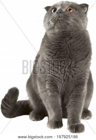 Cat breed animal pet mammal kitten expression