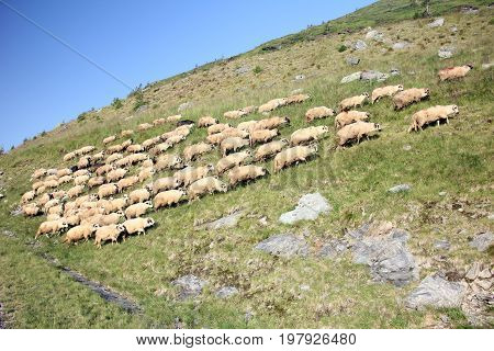 Herd of ships searching fresh grass in the mountains