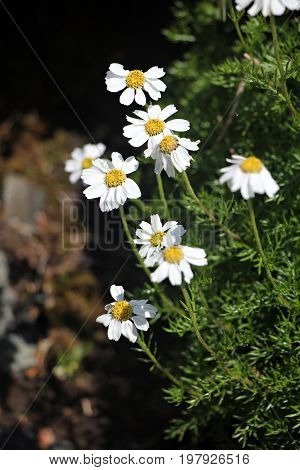 Beautiful white alpine flowers - daisies- surrounded by green leaves