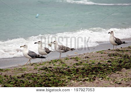 Seagulls walking on the beach for food
