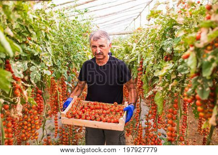 Mature Man In Greenhouse Colected Cherry Tomatoes Harvest In A Box At The Camera In Greenhouse