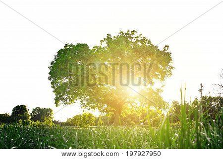 Walnussbaum an einer grünen Wiese im Sonnenuntergang