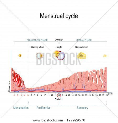 Menstrual cycle. Ovarian cycle: follicular phase and luteal phase. Uterine cycle: Secretory phase proliferative phase and menstruation. Vector Diagram showing the progression of the menstrual cycle