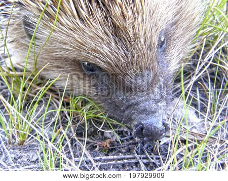 A wild hedgehog on the ground. Very beautiful image.
