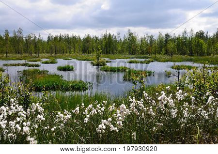 Cotton-grass is growing on edge of boreal forest near small lake, Murmansk region, Russia