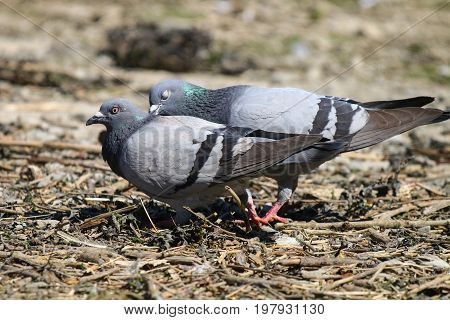 A male feral pigeon chasing his mate and grabbing her by the back of the neck in courtship