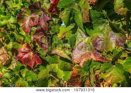 Grape Leaves On The Vine